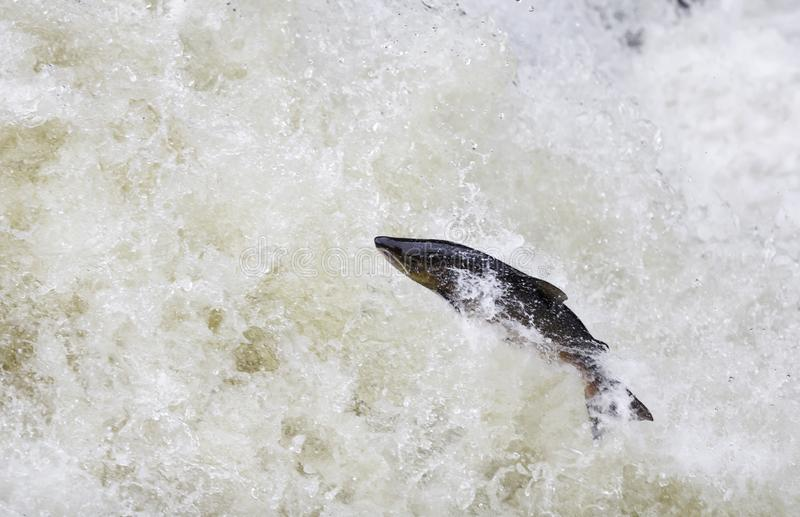 Leaping Atlantic salmon (salmo salar). The mighty Wild Atlantic salmon travelling to spawning grounds during the summer in the Scottish highland. The salmon in stock image