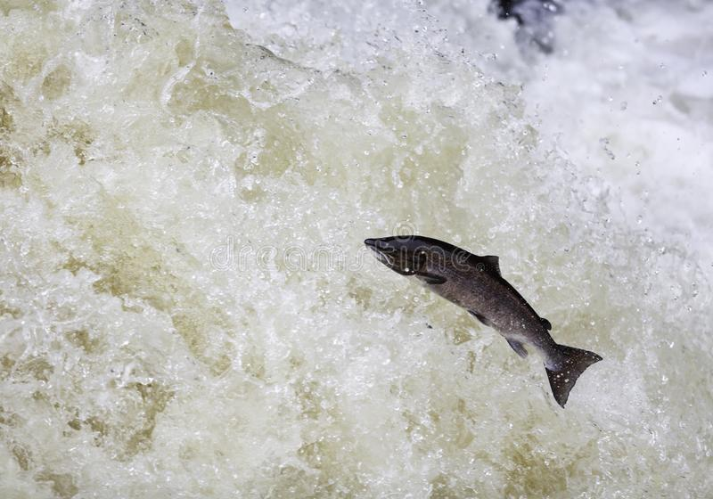 Leaping Atlantic salmon (salmo salar). The mighty Wild Atlantic salmon travelling to spawning grounds during the summer in the Scottish highland. The salmon in royalty free stock photography