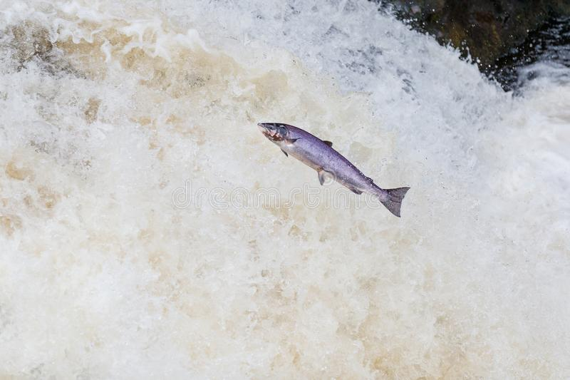 Large Atlantic salmon leaping up the waterfall on their way migration route to their spawning grounds. The mighty Wild Atlantic salmon travelling to spawning royalty free stock image