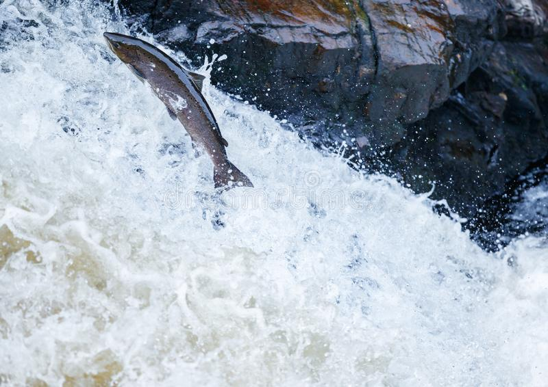 Large Atlantic salmon leaping up the waterfall on their way migration route to their spawning grounds. The mighty Wild Atlantic salmon travelling to spawning stock photo