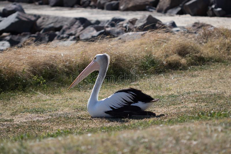 Large pelican resting on the grass stock image