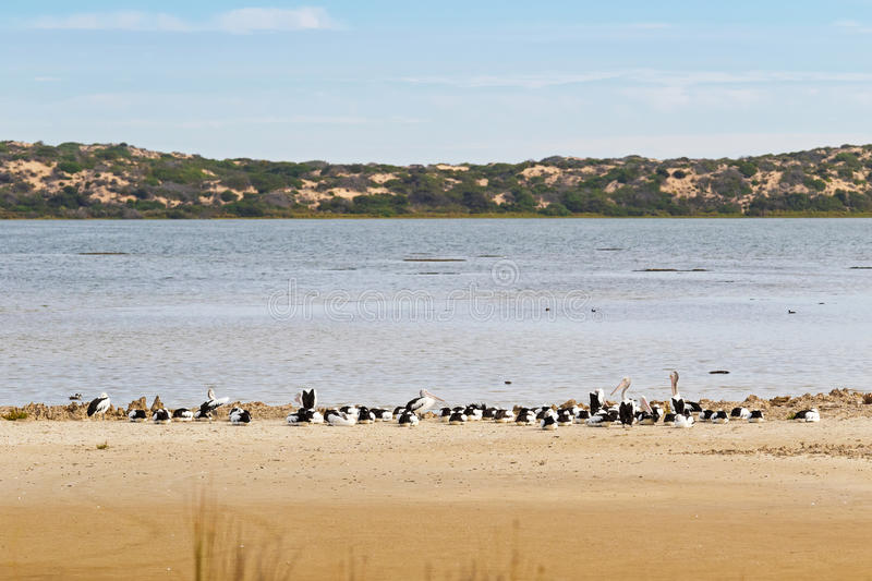 Large Australian Pelican water birds resting on the beach at Coo. A flock of large Australian Pelican water birds with pale pink bill resting on the beach close stock photo