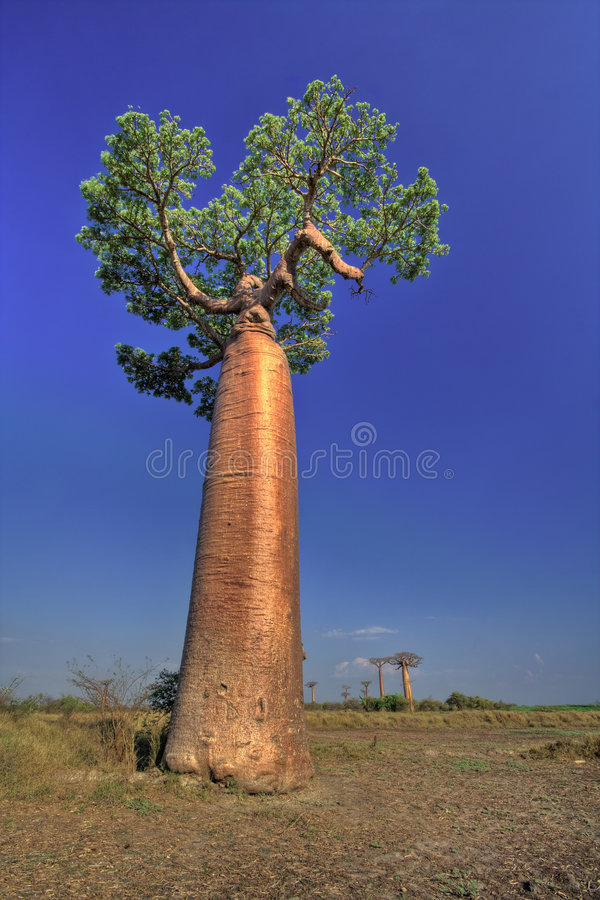 Large Baobab stock photography