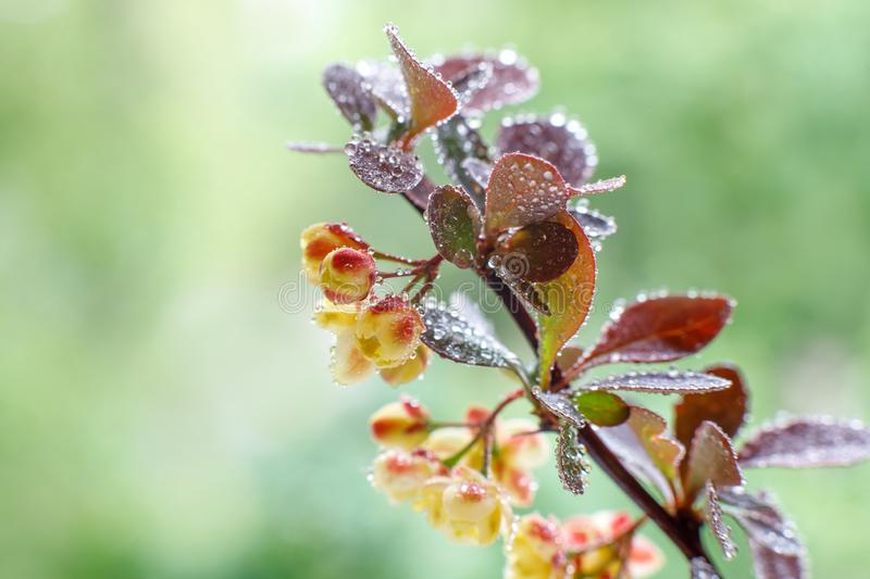 Large barberry flowers with water drops after a rain on a sunny spring day in the garden. Close-up. Selective focus.  stock image