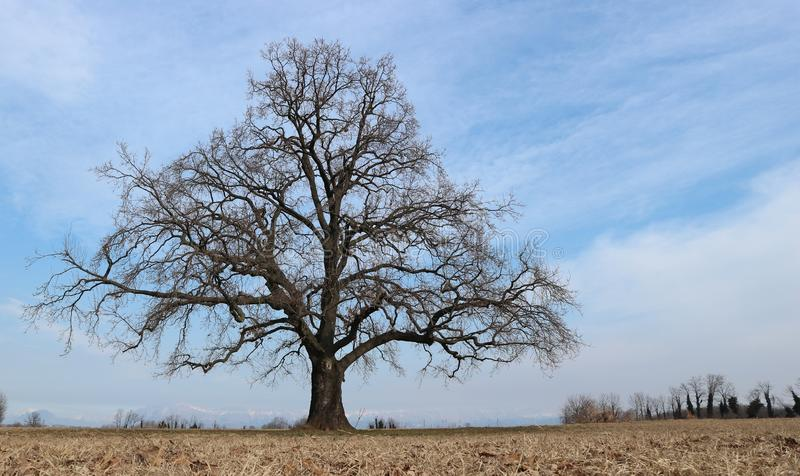 Large bare oak tree, Quercus robur is the scientific name, alone in a winter countryside scenery royalty free stock image