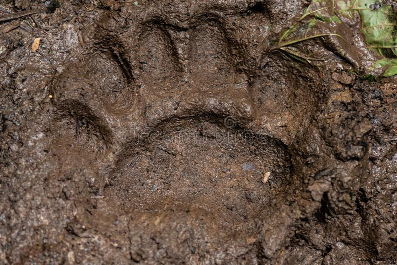 Large Bear Print in Muddy Trail stock image