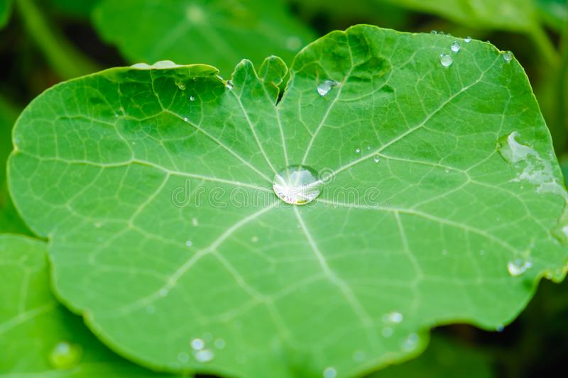 Large beautiful drops of rain water on a green leaf macro. Drops of dew in the morning glow in the sun. Beautiful leaf texture. Na. Large beautiful drops of rain royalty free stock images