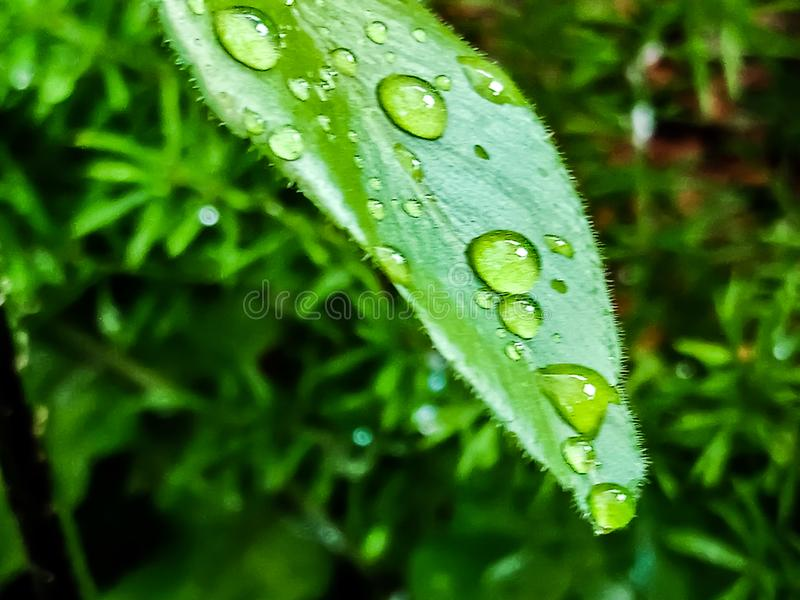 Large beautiful drops of transparent rain water on green leaf, background nature. Waterdrops, morning, outdoor, backgrounds, naturebackground, likes royalty free stock photos