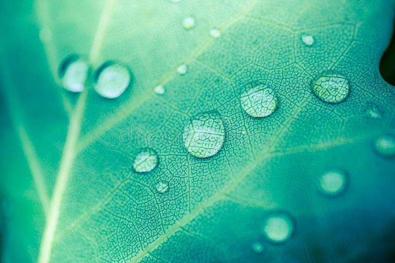 Beautiful breen leaf and morning dew drops. Nature texture background. Green leaf and green environment royalty free stock photo