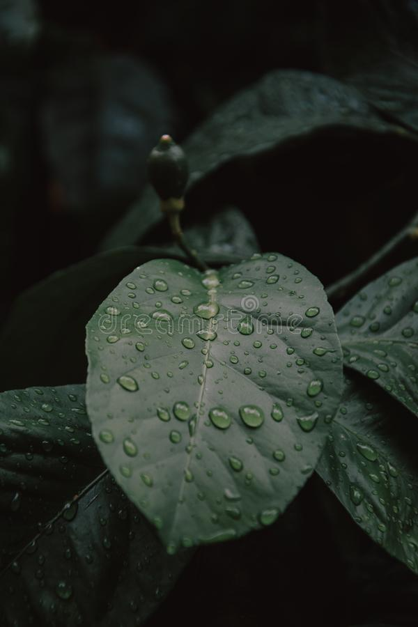 Large beautiful drops of transparent rain water on a green leaf macro. Drops of dew in the morning glow in the sun. Beautiful leaf royalty free stock photography