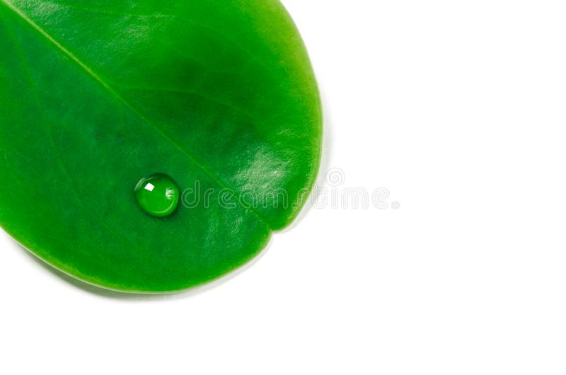Large beautiful drops of transparent rain water on a green leaf macro. Drops of dew in the morning glow in the sun. Beautiful leaf stock image