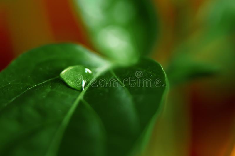 Large beautiful drops of transparent rain water on a green leaf macro. Drops of dew in the morning glow in the sun. Beautiful leaf royalty free stock photos