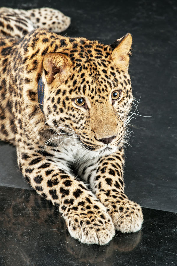 Large Beautiful Leopard Royalty Free Stock Photo