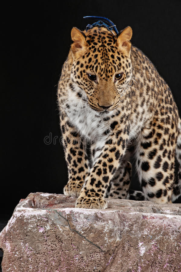 Download Large beautiful leopard stock image. Image of nature - 32073927