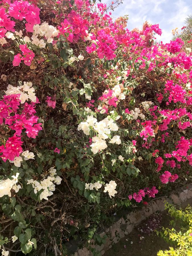 A large beautiful lush shrub, an exotic tropical plant with white and purple, pink flowers with delicate petals, a natural decorat stock photography