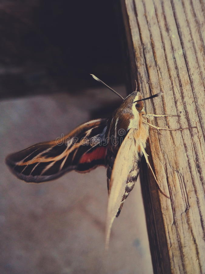 Large and beautiful moth royalty free stock photography