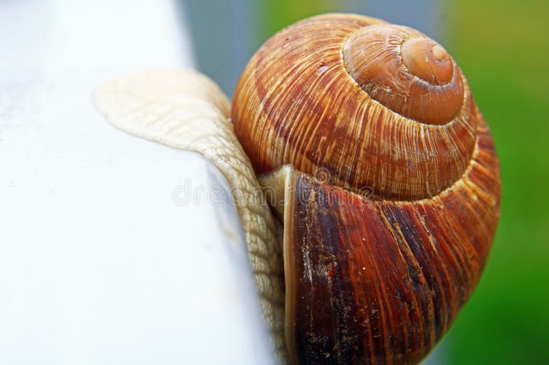 A large beautiful snail quickly crawls out of the frame, the snail`s house is shot close-up, and in the background bokeh. A large beautiful snail crawls away stock photo