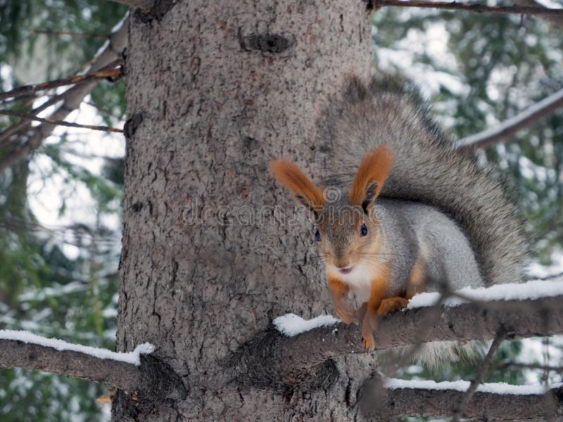 A large beautiful squirrel sits on a tree branch. Blurred background.  royalty free stock photography