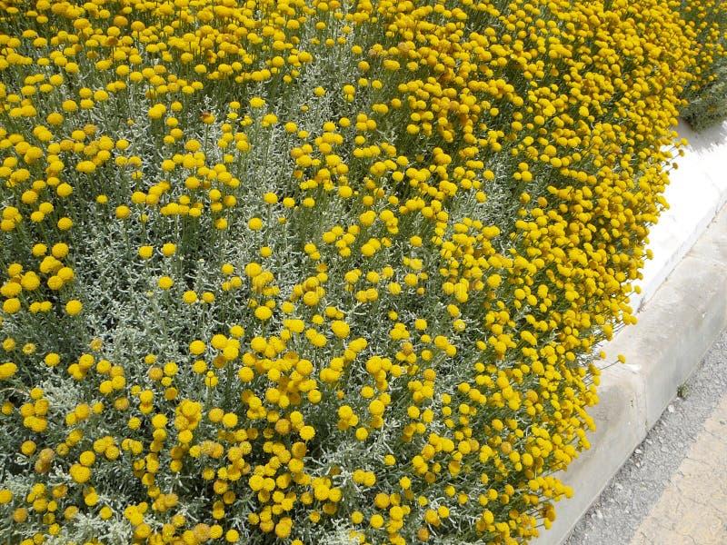 Craspedia billy balls yellow flower stock photo image of download craspedia billy balls yellow flower stock photo image of background petal 106532764 mightylinksfo