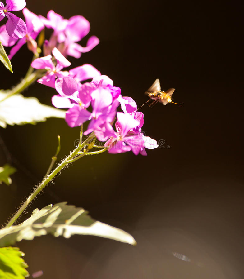 The large Bee Fly. (Bombylius major) which is a bee-mimic feeds on nectar with it´s large proboscis royalty free stock images