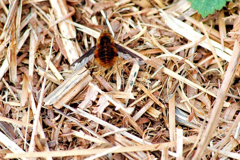 The Large Bee-Fly - Bombylius Major in Rough Meadow stock photo
