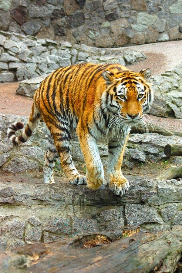 Large Bengal tiger walking stock images
