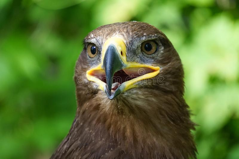 A large bird of prey on a green natural background.. royalty free stock photos