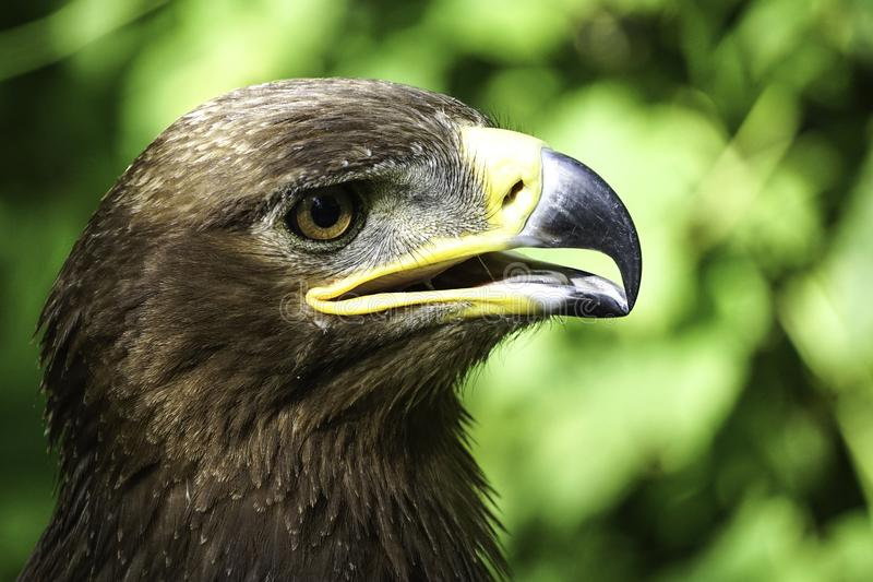 A large bird of prey on a green natural background.. stock photo