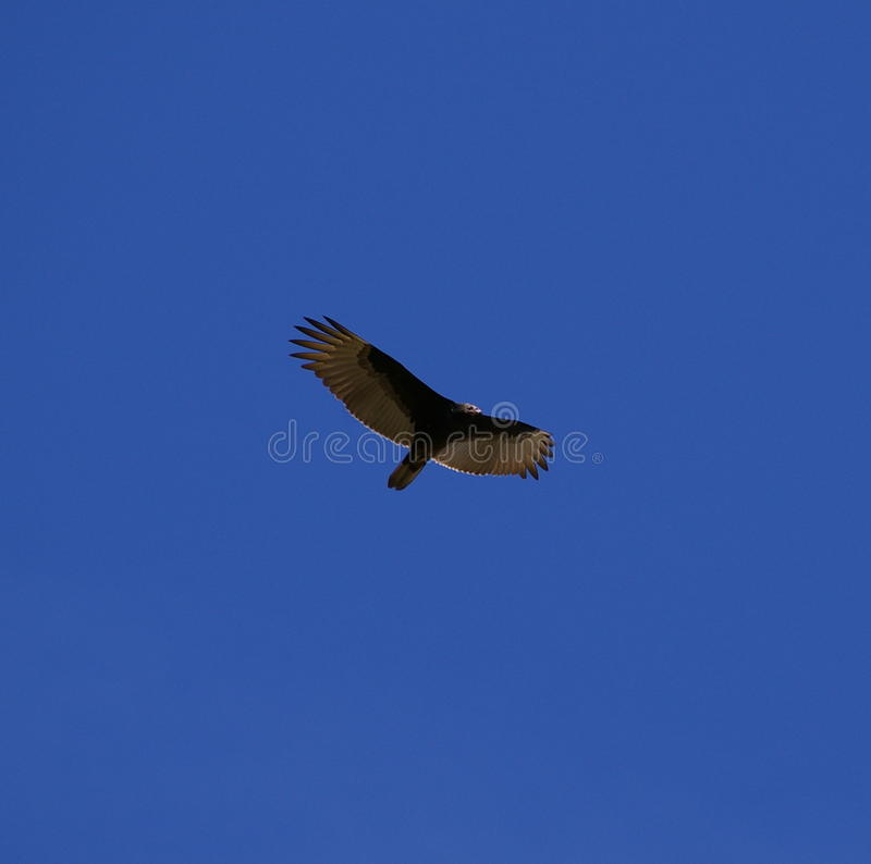 Large bird soaring in the blue sky stock photos