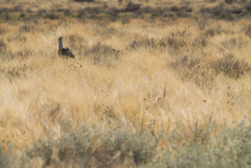 Large bird species known for Kori Bustard walking in namibia etosha pan. Africa stock photo