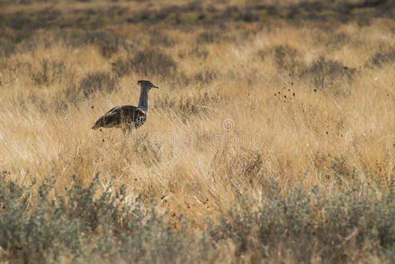Large bird species known for Kori Bustard walking in namibia etosha pan. Africa stock image