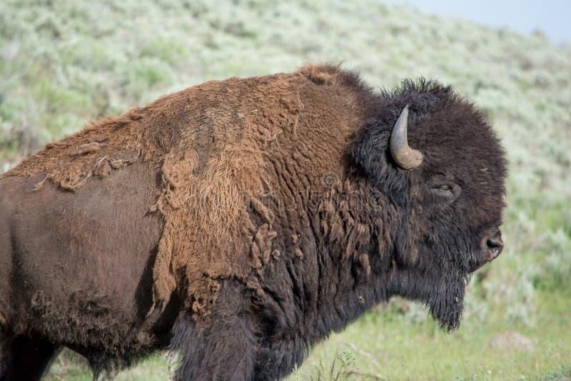 Large Bison Bull stock image