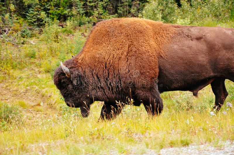 A large Bison walks on the side of a highway near the Yukon. stock image