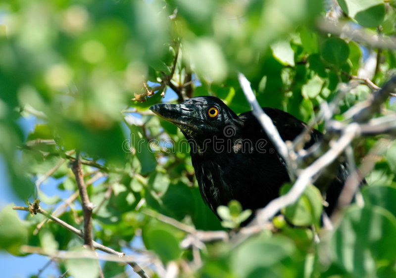 Large Black Bird Hiding In Bush Royalty Free Stock Photos