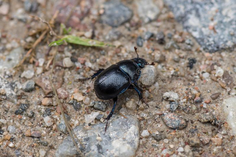 Large black and blue dorbeetle crawling on sand royalty free stock images