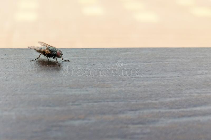 A large black fly sitting on a dark tile.Soft focus.Ð¡oncept of protection against insect bites, disease vectors.  stock photos