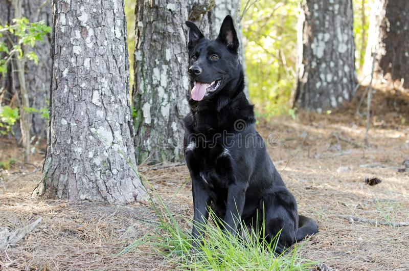 Large black German Shepherd mix breed dog sitting, pet rescue stock photo