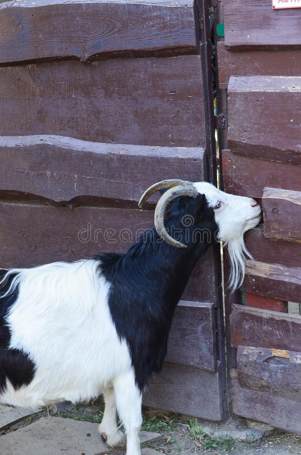 A large black goat with white spots stands near the fence. stock image