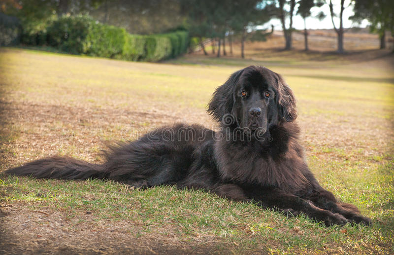 Large black newfoundland dog laying down on dry grass in a park stock photos