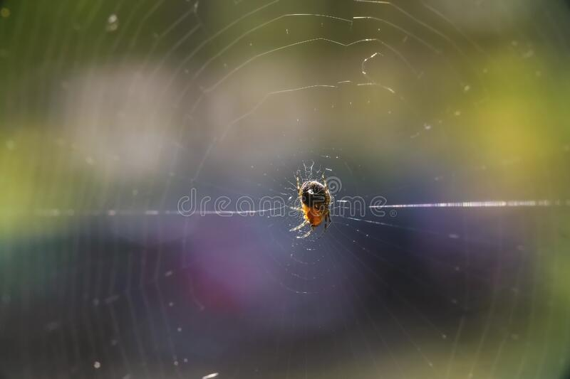 A large black spider sits on in the center insect hunts royalty free stock image