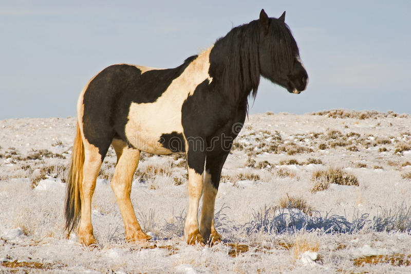 Large Black Stallion in Winter. This stud has a heavy cold weather coat for warmth in the snow stock photography