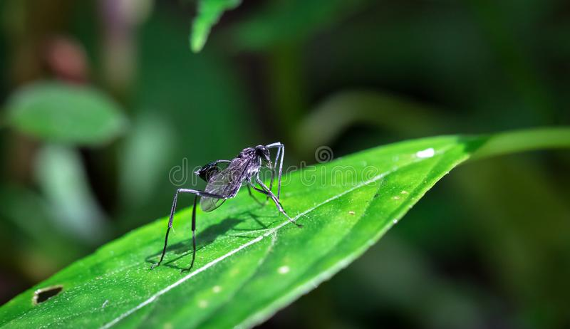 Wasp on a sunlit leaf in Costa Rica. Large black wasp with a cup-like appendage on its abdomen in the Tapanti-Macizo Cerro de la Muerte National Park, Costa Rica royalty free stock photography