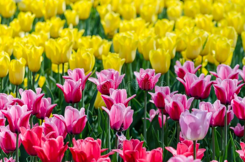 Large blooming flower bed with pink and yellow hybrid tulips royalty free stock images