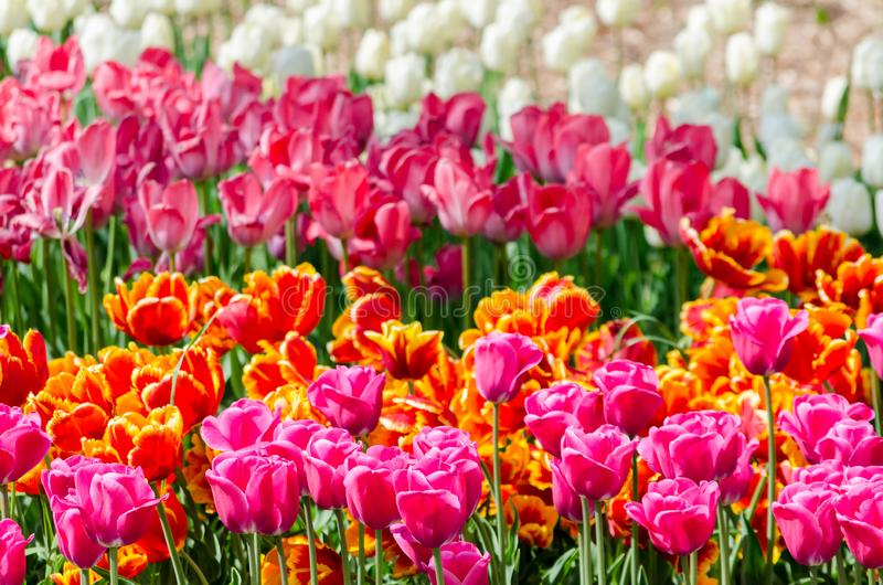 Large blooming flower bed with puple pink and white hybrid tulips. Large blooming flower bed with puple pink and white hybrid holland tulips stock photos