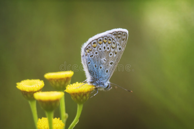 Download Large blue butterfly stock image. Image of feeler, azure - 3476247