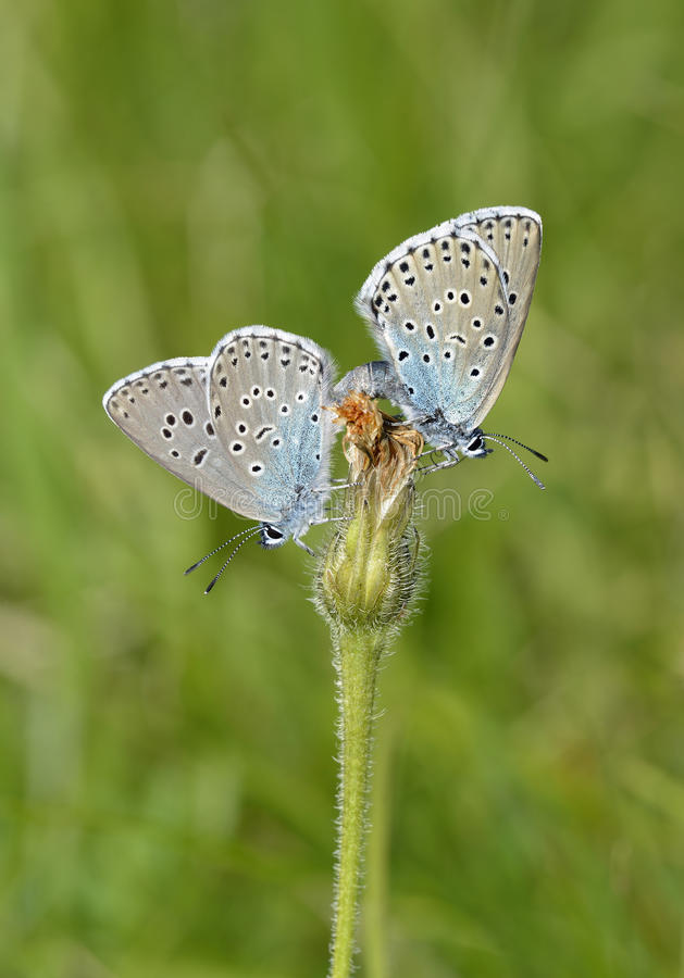 Free Large Blue Butterfly Stock Photo - 95923130