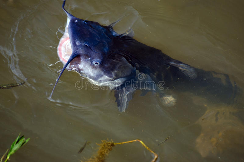 Large Blue Catfish in pond, Walton County, Georgia. Blue catfish, Ictalurus furcatus, typically are bluish-gray above, fading to white on the sides and belly stock image