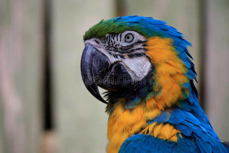 Large blue macaw. Close-up portrait of a large blue macaw royalty free stock photography