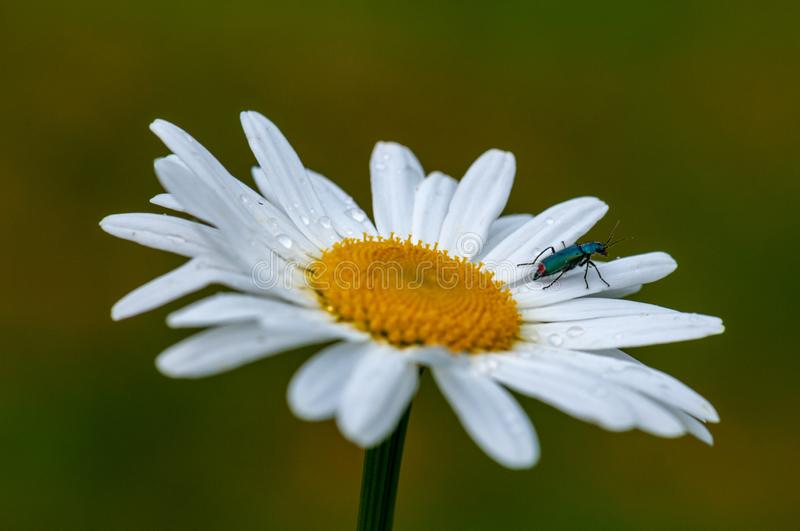 Large blurred white Leucanthemum maximum blossom . in the spring with bug. Large white Leucanthemum maximum blossom in the spring on a meadow on a vivid green royalty free stock images
