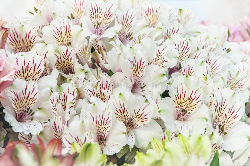 A large bouquet of white alstroemerias in a flower shop is sold as a gift box. The farmer`s market. Close up. A horizontal frame stock photos